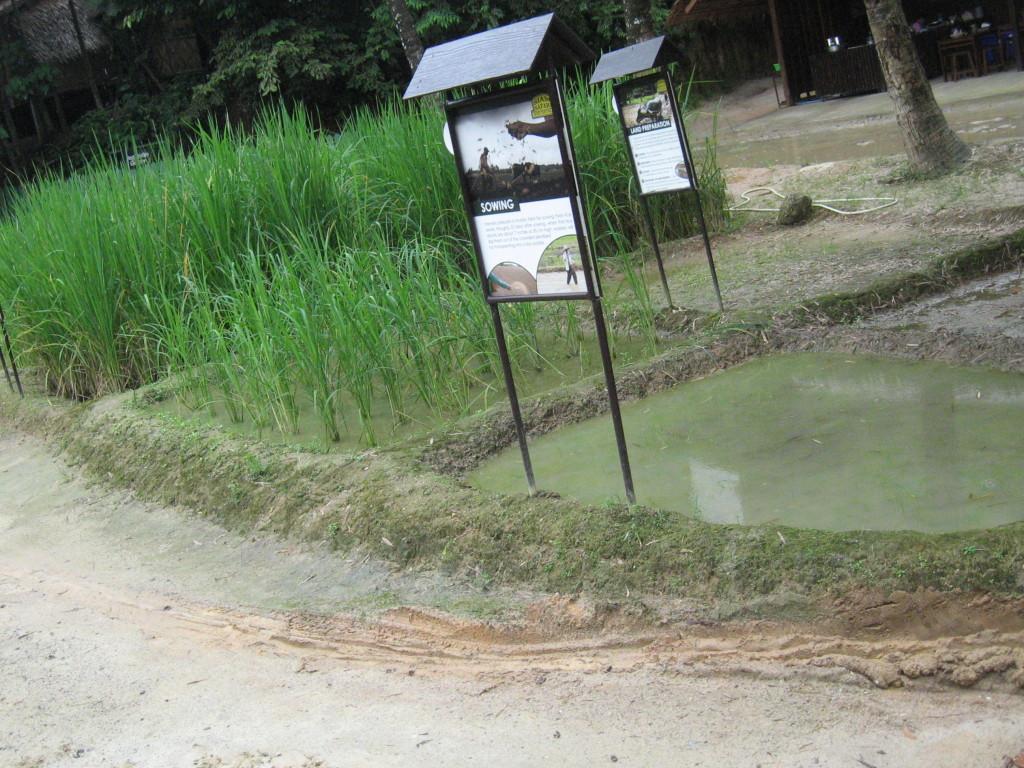 Riisipeltoa eri kehitysvaiheissaan, jottei totuus unohtuisi.