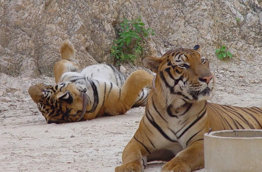 Näillä tiikereillä ainakin on asiat kunnossa. Niitä ei myydä kuin korkeintaan kokonaisina ja toiseen eläintarhaan.